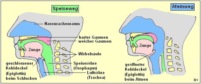 MedizInfo®: Anatomie der Speiseröhre