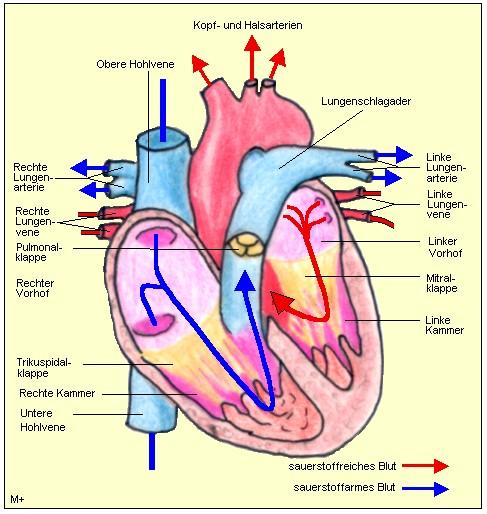 MedizInfo®: Herzaufbau und Herzfunktion